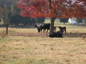Cattle at Twin Springs Hereford Farm