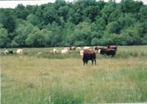 Cypress Creek Farm beefalo grazing